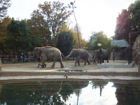 2011-11ueno-asianelephant02.jpg